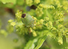 Spring Greens! (RiverCrouchWalker) Tags: commongreenshieldbug palomenaprasina insect invertebrate springgreens spring april 2018 southwoodhamferrers essex