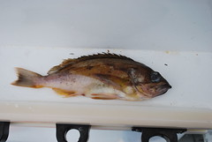 Squarespot Rockfish (Sebastes hopkinsi) (jd.willson) Tags: jd willson jdwillson nature wildlife fish fishing deep sea bottom pacific salt water saltwater rockfish squarespot sebastes hopkinsi