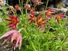 Sasanka (Pulsatilla) (a.swietlik) Tags: flower purple vliolet sasanki spring wiosna blooming kwiat pulsatilla sasanka