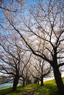 Sakura trees in the morning