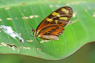 Euclea Tigerwing - Hypotheris euclea