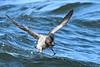 Brant touchdown (adbecks) Tags: brant flight splash nikon d500 300pf tc wildlife birds nj barnegat inlet jetty