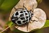 Deroplax silphoides (NakaRB) Tags: 2012 egypt sharmelsheikh clubelfaraanareef4 insecta hemiptera scutelleridae deroplaxsilphoides