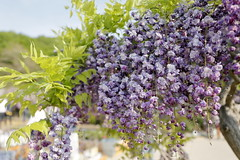 double wisteria (cate♪) Tags: flower wisteria double