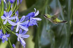 Western Emerald hummingbird nectaring on Agapanthus flower (PriscillaBurcher) Tags: trochilidae chlorostilbonmelanorhynchus esmeraldacoliazul esmeraldadecolaazul westernemerald esmeraldaoccidental émeraudedesandesoccidentales émeraudeorvert hummingbirdsfromcolombia colibríesdecolombia laceja colombia priscillaburcher dsc8493