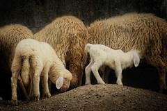 Lambs (JossieK) Tags: sheep lambs bergschaf weiserbergschaf deutscherbergschaf mountain white livestock vieh farming bavaria longears german
