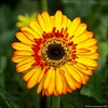 One Gerbera (Ciao Anita!) Tags: honselersdijk komindekas westland zuidholland nederland netherlands olanda gerbera bloem flower fiore
