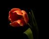 Single Orange Tulip 1127 (Tjerger) Tags: nature flower bloom blooming plant natural flora floral blackbackground portrait beautiful beauty black orange green fall wisconsin macro closeup single tulip