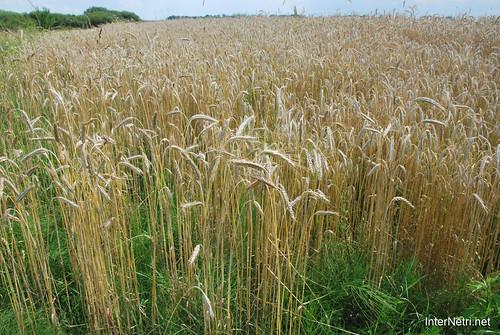 Пшениця, жито, овес InterNetri  Ukraine 034