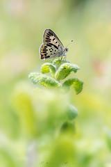 Aberración de Lycaena tityrus (jojesari) Tags: lycaenatityrus aberración mariposa butterfly volvoreta macro jojesari