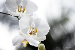Orchid (Daniela Romanesi) Tags: 1355 orchid orquídea petals white bloom blomming delicate flower garden flores