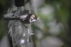 Bushtit gathering nesting material (skuarua) Tags: americanbushtit bushtit oregon psaltriparusminimus birds nesting