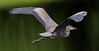 05-29-18-0020355 (Lake Worth) Tags: animal animals bird birds birdwatcher everglades southflorida feathers florida nature outdoor outdoors waterbirds wetlands wildlife wings