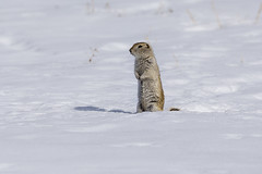 Gopher (tlrichmnd) Tags: snow winter mammal animal wildlife squirrel rodent arctic outdoors ice noperson freezing outdoor cold covered standing nature brown small frosty top slope field little walking one hill daylight sheep portrait gopher alberta canon