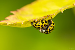 22 spot ladybirds (Shane Jones) Tags: ladybird beetle insect wildlife nature nikon d7200 tamron180mmmacro pk3extensiontube pk3x2 canon500d macro macrolife macrophotosnolimits macrolicious
