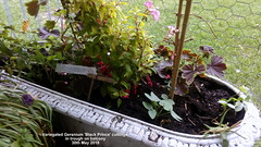 Variegated Geranium 'Black Prince' cuttings in trough on balcony 30th May 2018 (D@viD_2.011) Tags: variegated geranium black prince cuttings trough balcony 30th may 2018
