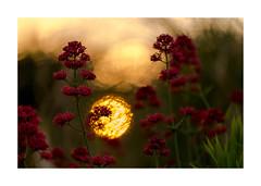 Expérimentation-2746125A2746 (helenea-78) Tags: macro nature coucher soleil coucherdesoleil sunset sunrise