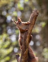 Rode Eekhoorn (Luciën Reyns) Tags: pentax pentaxk1 pentaxhddfa150450mm boshutclinge bos wood animals zeeuwsvlaanderen nederland netherlands rodeeekhoorn redsquirrel
