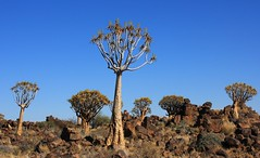 Quiver Tree ( Aloe dictotoma) Forest - Keetmanshoop   Namibia (12) (Ann Collier Wildlife & General Photographer) Tags: quivertree quivertreeforest keetmanshoop aloidendrondichotomum aloedictotoma trees namibia nationalmonumentofnamibia