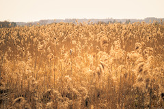 Golden stalks (Rico the noob) Tags: grass bokeh d850 landscape sunset nature published germany sky outdoor dof 135mm 2018 135mmf28