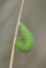 Wall Brown larva (Lasiommata megera). (Bob Eade) Tags: butterflies immaturestages immature lasiommatamegera wallbrown wall downland grassland pupa larva transition brown