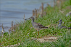 Greater Yellowlegs (Summerside90) Tags: birds birdwatcher shorebirds greateryellowlegs may spring migration nature wildlife ontario canada