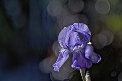Iris (Phancurio) Tags: iris flower bokeh beauty