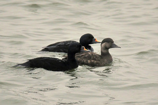 The Common Scoter  (Melanitta Nigra)