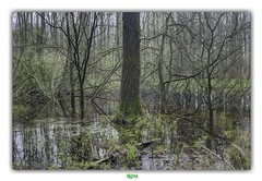 HET LAPPERSFORTBOS in SINT-MICHIELS / BRUGGE (régisa) Tags: sintmichiels brugge bruges bos lappersfortbos wood bois arbre tre baum boom tenbriele groenfront lutte écologiste environmentalist marécage peuplier