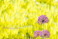 The Allium in the Laburnum World (littlekiss☆) Tags: autumn laburnum thelaburnumwalk vandusenbotanicalgarden spring nature flower vancouver littlekissphotography