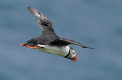Airborne Puffin    Faroe Islands (dr brewbottle) Tags: bird puffin birdinflight faroeislands