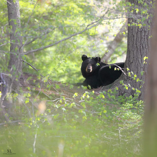 American black bear- Ours noir - Ursus americanus