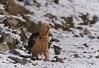 MRC_3850 Bearded Vulture-snowy day (Obsies) Tags: vulture beardedvulture birds nikon d5 sigma300800 sigmonster lammergeier