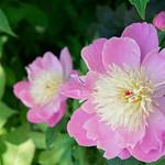 Pinke Blüte thumbnail