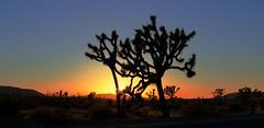 Lone Joshua Tree (Spebak) Tags: spebak canon canondslr canon70d sunset evening california desert lonetree joshuatree joshuatreenationalpark nationalpark sky