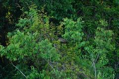 DSC00587.jpg (joe.spandrusyszyn) Tags: gruiformes unitedstatesofamerica limpkin paynespraire vertebrate nature bird aramus aramidae florida gainesville byjoespandrusyszyn aramusguarauna animal
