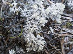 Coral Lichen (Baractus) Tags: coral lichen mount william national park tasmania australia john oates pepperbush inala nature tours pepper bush adventures