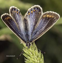 Common Blue female (Polyommatus icarus) (stevenbailey7) Tags: butterflies blue nature detail closeup nikon tamron spring garden lycaenidae pose dof naturephotography commonblue polyommatinae