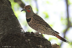 1.10007 Pic flamboyant / Colaptes auratus cafer / Northern Flicker (Laval Roy) Tags: arizona usa aves birds oiseaux quebec lavalroy picflamboyant colaptesauratuscafer northernflicker piciformes picidés eos7d ef300mm14lisextender14xiii