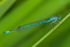 Damsel (andmang) Tags: sonya7ii olympus zuikoauto11macro80mm insect green omsystem fly damsel macro blue