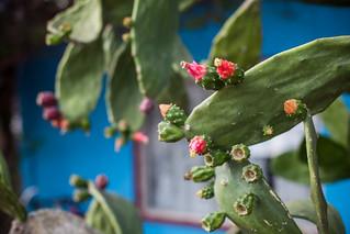 Cuba - Viñales - Cactus