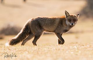 Golden Red fox /  Vulpes vulpes / Renard Roux