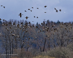 031818 Cacklers Incoming (wildcatlou) Tags: march spring nature birds wildlife geese cacklinggeese nisquallynationalwildliferefuge canadageese