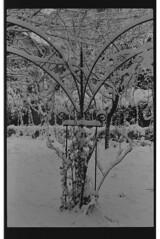 P59-2018-017 (lianefinch) Tags: argentique argentic analogique analog blackandwhite blackwhite bw noirblanc noiretblanc nb monochrome neige snow arbre tree jardin garden outdoor extérieur arches