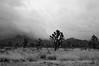 the joshua tree (tamasmatusik) Tags: mojave mojavedesert mohave mohavecounty joshuatree joshuatrees blackandwhite monochrome bw arizona nature plants sony sonynex nex6 30mm sigma sigmalens cactus milc mystic landscape moody mood u2 noiretblanc desert