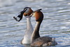 Great Crested Grebes (Georgiegirl2015) Tags: greatcrestedgrebe canon countryside coastal cosmeston lakes spring dancing birds bbcwalesnature wildlife wales wetland water dellalack march2018 ef300mm