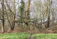 After the storm (Vijverbos, Harmelen) (bcbvisser13) Tags: tree boom baum arbre storm tempête sturm bos wald forest forêt natuur nature natur vijverbos harmelen provutrecht nederland eu inexplore