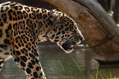 Jaguar (Panthera onca) (@Katerina Log) Tags: jaguar wildlife wildanimal wild mammal outdoor depthoffield bokeh daylight natura nature katerinalog sonyilce9 fe70200mmf4goss attikazoopark athens greece griechenland animal
