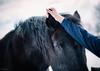soft ear (Jen MacNeill) Tags: percheron horse equine hand touch love black winter girl ear ears horses animal farm