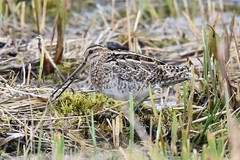 Snipe (ChrisPy63) Tags: nature feeding bill nikond7200 nikon lancashire outside uk rspbleightonmoss rspb britishbird snipe